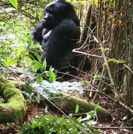 From Mist to Memories: Tracking Gorillas in Uganda